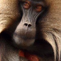 thumbs_Gelada-male-4