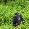 Rwanda Extension - Apes & Man